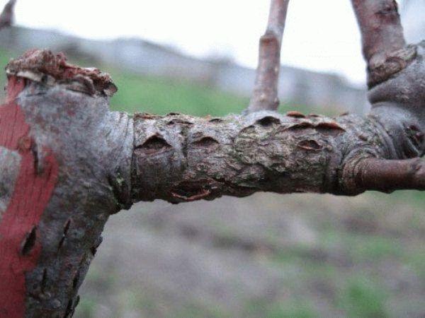 Цитоспороз на ветке яблоне