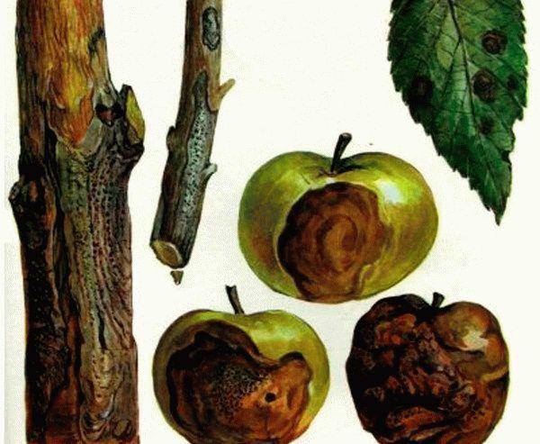 Черный рак яблони