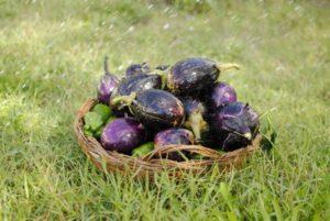 Как выращивать баклажаны и ухаживать за ними