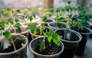 Какие бывают удобрения для рассады томатов и перца