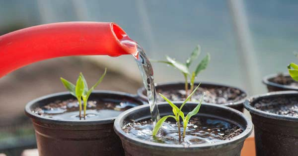 полив рассады перца
