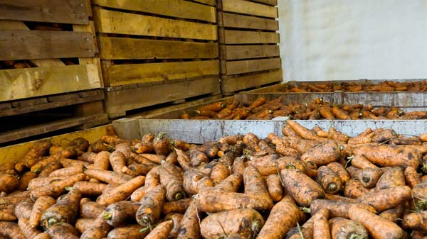 морковь в контейнерах