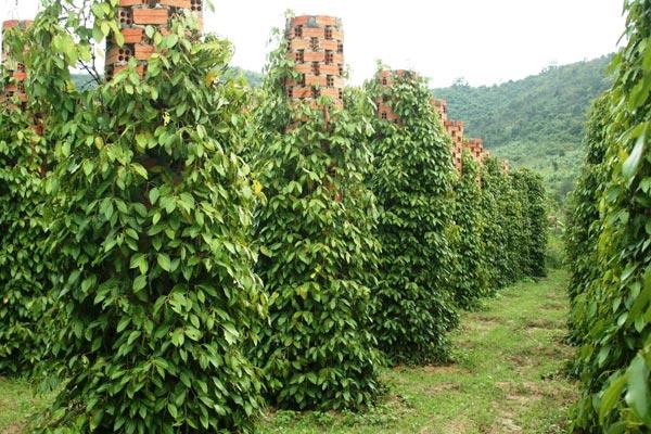 плантация черного перца