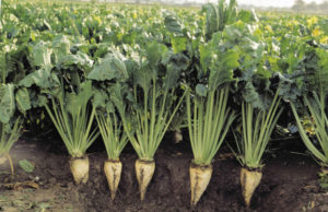 Выращивание кормовой свеклы: лучшие сорта, посадка и уход