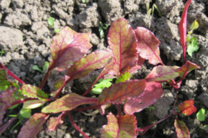 Почему краснеют листья свеклы