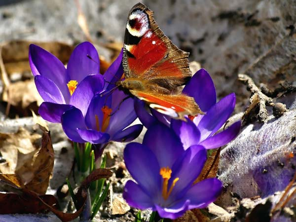 бабочка на крокусе