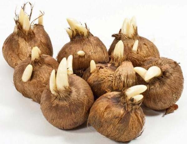 луковицы шафрана