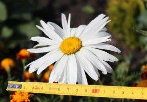 Фото и выращивание многолетних садовых ромашек