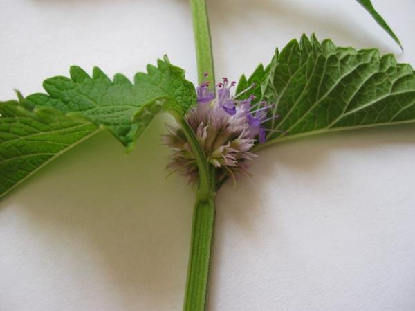 цветок лофанта