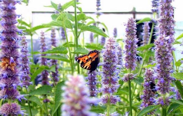 бабочка на лофанте
