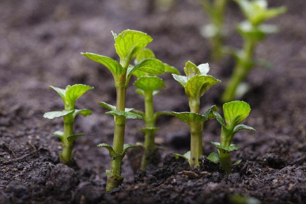 ростки мяты