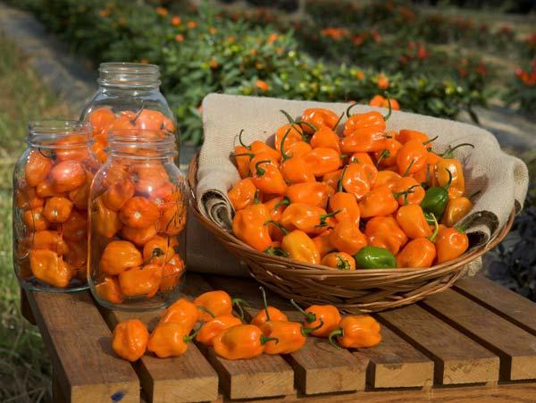 оранжевые перцы