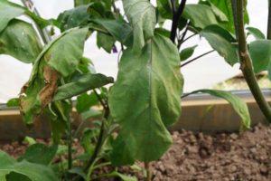 Почему вянут листья у баклажанов в теплице