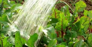 Правила полива свеклы в открытом грунте