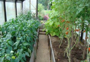 Удачное соседство: перец и помидоры в одной теплице