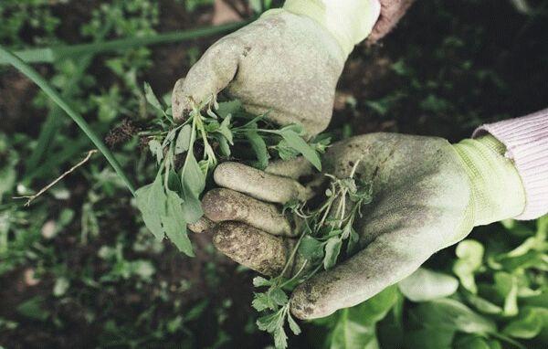 сорняки в руках
