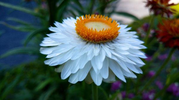 гелихризум маргариткоцветковый