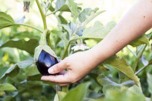 Можно ли вырастить баклажаны в Сибири