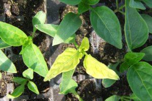 5 причин пожелтения листьев перцев в теплице