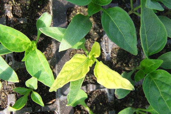 желтые листья перцев