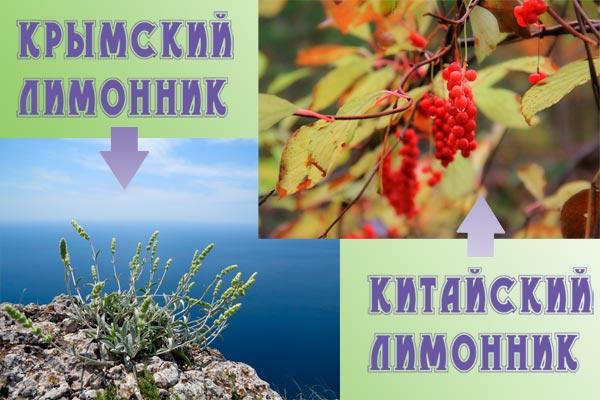 крымский и китайский лимонник