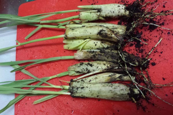 луковицы лемонграсса