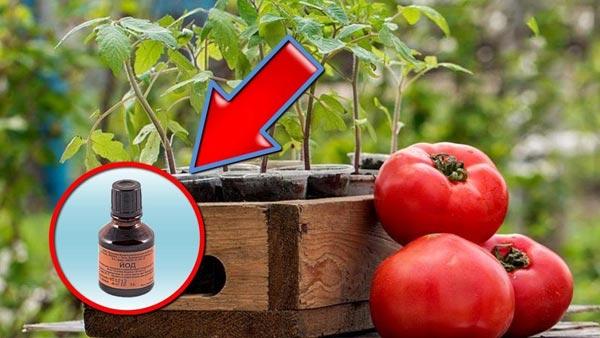 томаты и йод