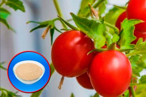 томаты и дрожжи