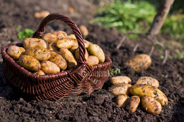 Агроном: Когда копать картошку: советы по уборке урожая в 2019 году