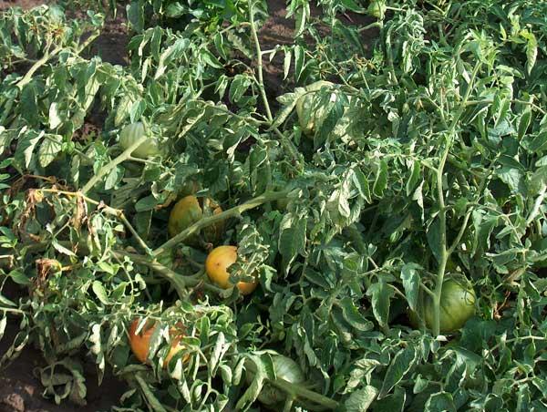 помидоры завяли