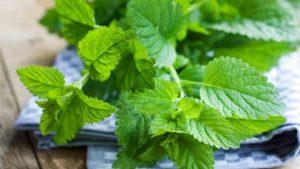 Трава мелисса: одарит ароматом, успокоит, исцелит