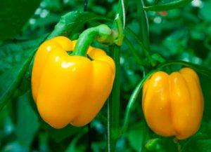 Урожайный сорт перца Золотое чудо: главные особенности