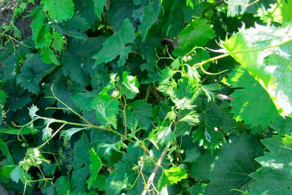 Короткоузлие винограда