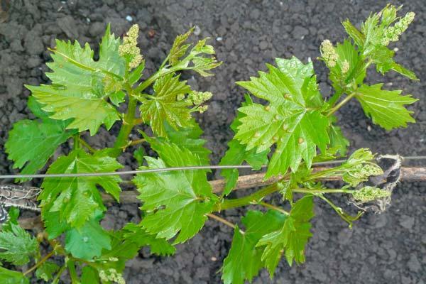 Клещи на винограде