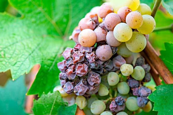 вертициллез винограда