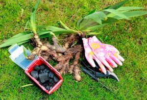 Когда и как правильно сажать ирисы в открытый грунт осенью