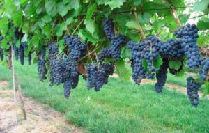 Самые морозостойкие сорта винограда