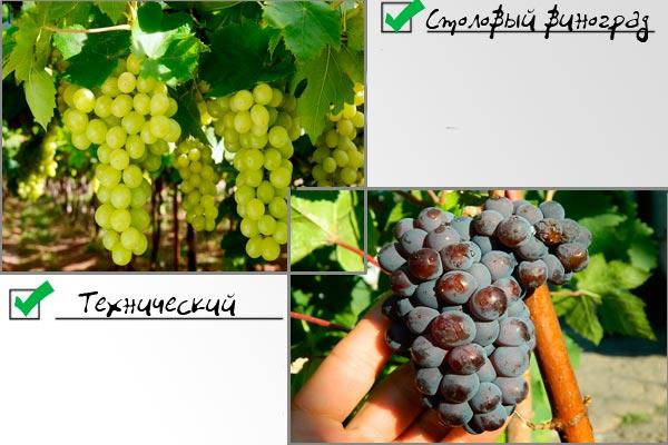технический и столовый виноград