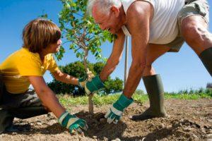 Правила и сроки пересадки яблонь разных возрастов