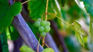 Когда и как пересаживать виноград