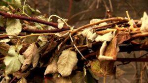 Чтобы малина зимы не боялась: мероприятия по подготовке к холодам