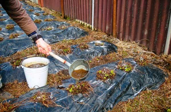 органическая подкормка клубники