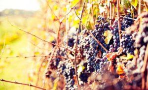 Особенности осенней подкормки винограда