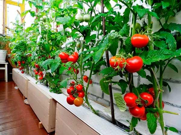 томаты на балконе