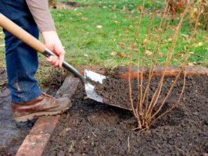Когда и как посадить осенью смородину