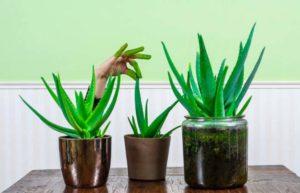 Выращивание алоэ в домашних условиях: размножение и уход