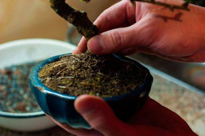Как выращивать бонсай сакура из семян в домашних условиях?