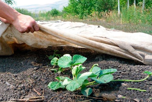 Чем укрыть клубнику на зиму в сибири