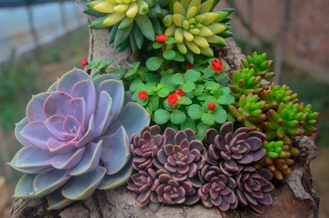 цветущие суккуленты
