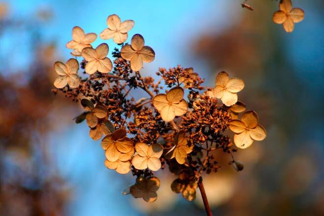 гортензия осенью